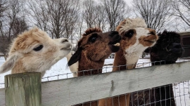 alpaca heads over fence