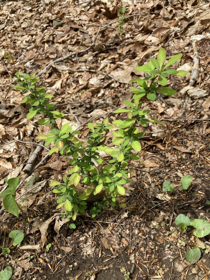 barberry growing in woodland