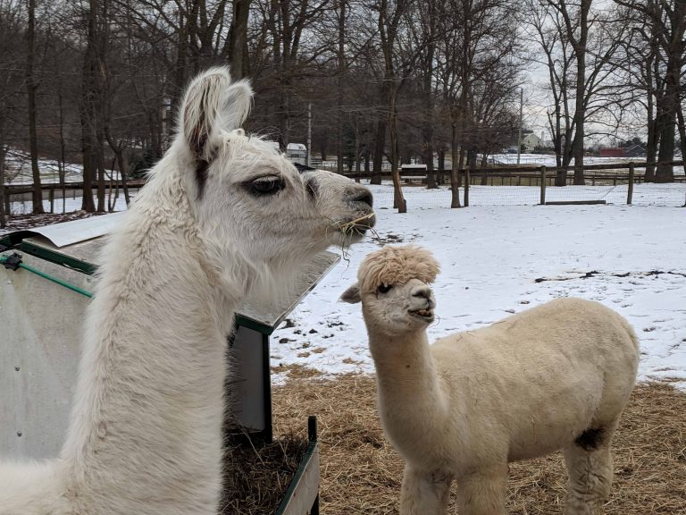 llama as protector of herd
