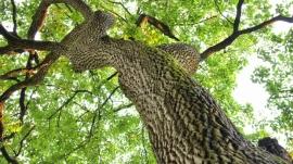 majestic tree canopy
